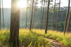 De Zonsopgang in Pijnbomenbossen en geel glas Stock Foto