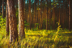 De Zonsopgang van de zomerforest woods under sunlight sunset stock foto