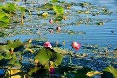 De zonsopgang van de lotusbloemvijver royalty-vrije stock fotografie