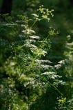 De zonstralen door de kronen van bomen verlichten de wilde grassen Scrophularia royalty-vrije stock afbeeldingen