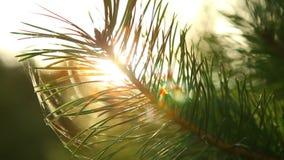 De zonstralen komt omhoog door pijnboomboom bij zonsopgang stock footage