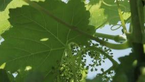 De zonstralen maken hun manier door de bladeren van de wijnstok Heldere zonnige dag! stock footage