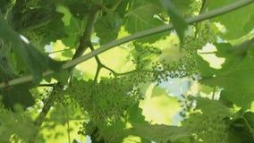 De zonstralen maken hun manier door de bladeren van de wijnstok Heldere zonnige dag! stock videobeelden