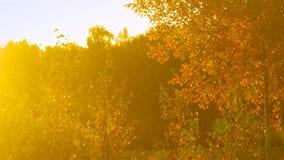 De zonstralen verlichten gouden berk tegen donker bos stock videobeelden
