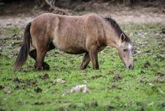 De zoute enkel van het Rivierwild paard diep in modder royalty-vrije stock afbeelding