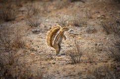 De Zuidafrikaanse Eekhoorn van de Grond Stock Afbeelding