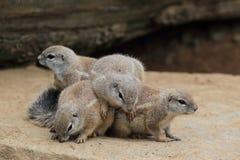 De Zuidafrikaanse Eekhoorn van de Grond Royalty-vrije Stock Afbeelding