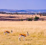 De Zuidafrikaanse Lente Bok Stock Afbeeldingen