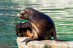 De Zuidamerikaanse zeeleeuw, Otaria flavescens in de dierentuin stock foto's