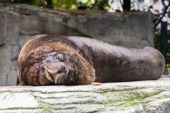De Zuidamerikaanse zeeleeuw, Otaria flavescens in de dierentuin stock foto