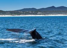 De zuidelijke Juiste Walvis duikt in water stock afbeeldingen