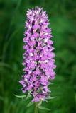 De zuidelijke Orchidee van het Moeras royalty-vrije stock afbeeldingen