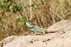 De zuidelijke rotsagama Agama atrahagedis Royalty-vrije Stock Fotografie