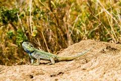 De zuidelijke rotsagama Agama atrahagedis Stock Afbeeldingen