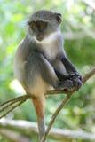 De Zuigeling van de aap stock foto's