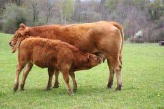 De Zuigeling van het Kalf van Limousin Stock Foto