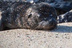 De zuigeling van de de Verbindingswelp van de Galapagos stock afbeeldingen
