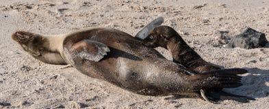 De zuigeling van de de Verbindingswelp van de Galapagos royalty-vrije stock afbeelding