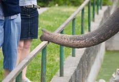 De zuigorganen van de olifant Stock Foto