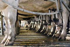 De zuivelindustrie - Koe melkende faciliteit royalty-vrije stock afbeeldingen