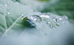 De zuivere dalingen van de waterregen op groen blad met venation zen achtergrondmacro Stock Fotografie