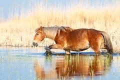 De zuringsmerrie loopt door het water stock fotografie
