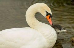 De zwaan die het is hals verbuigen Royalty-vrije Stock Foto's