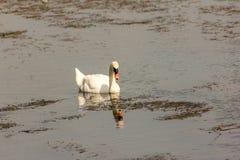 De zwaan is een grote watervogel, met een gemiddelde draagwijdte van tussen 155 en 250cm afhankelijk van de species - tot 310cm royalty-vrije stock foto