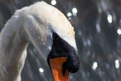 De zwaan is een grote watervogel, met een gemiddelde draagwijdte van tussen 155 en 250cm afhankelijk van de species - tot 310cm r royalty-vrije stock afbeelding
