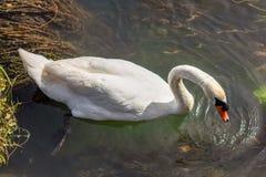 De zwaan is een grote watervogel, met een gemiddelde draagwijdte van tussen 155 en 250cm afhankelijk van de species - tot 310cm r royalty-vrije stock fotografie
