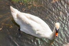 De zwaan is een grote watervogel, met een gemiddelde draagwijdte van tussen 155 en 250cm afhankelijk van de species - tot 310cm r royalty-vrije stock foto's