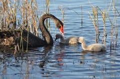 De zwaan en de jonge zwanen van de moeder Stock Afbeelding