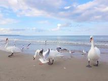 De zwaan en de zeemeeuw vechten over het voedsel bij de Oostzee Royalty-vrije Stock Foto
