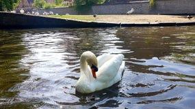 De zwaan in het meer royalty-vrije stock fotografie