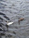 De zwaan met familie zwemt Royalty-vrije Stock Foto's