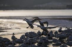 De zwaan is op het ijzige overzees royalty-vrije stock fotografie