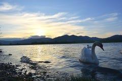 De zwaan op rivier bij zonsondergang Stock Foto
