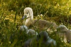 De zwaan van de baby Stock Foto