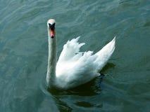 Koning Swan Royalty-vrije Stock Foto's