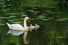 De zwaan van de moeder met babys Stock Afbeeldingen