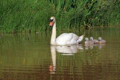 De zwaan van de moeder met kleine degenen Stock Foto's