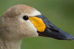 De zwaan van jeugdbewick Stock Foto's