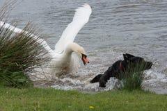 De zwaan ziet van een aanval door hond royalty-vrije stock fotografie