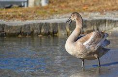 De zwaan zingt royalty-vrije stock foto's