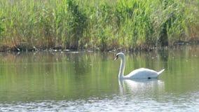 De zwaan zwemt langs het meer stock footage