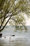 De zwaan zwemt vrij onder bomen Royalty-vrije Stock Afbeeldingen