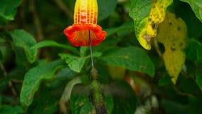 De zwaard-gefactureerde kolibrie is neotropical species van Ecuador, zwaard-gefactureerde kolibrie Hij stijgt en drinkt royalty-vrije stock foto