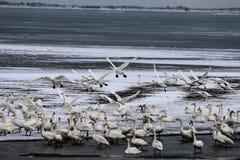 De zwanen brengen de winter in het meer door stock fotografie