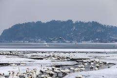 De zwanen brengen de winter in het meer door stock afbeeldingen