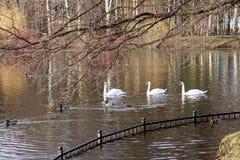 De zwanen en de eenden zwemmen in de vijver Royalty-vrije Stock Afbeeldingen